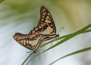 Common Jay - Graphium doson