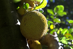 another one (Grenzeloos1) Tags: jackfruit