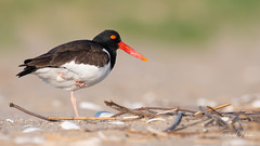 American Oystercatcher - Haematopus palliatus | 2018 - 8 (RGL_Photography) Tags: amoy americanoystercatcher birding birds birdwatching gardenstate haematopodidae haematopus jerseyshore monmouthcounty mothernature nature newjersey nikonafs600mmf4gedvr nikond500 ornithology oystercatcher seapie shorebird us unitedstates waders wildlife wildlifephotography