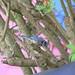 Spring Watch - Eurasian Blue Tit