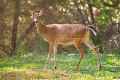 Doe (Smirv) Tags: deer doe forest trees grass meadow brown sun animal