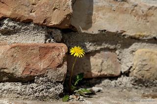Corner Flower / Mauerblümchen