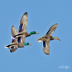 Mallard Fly-by (Explored) (dcstep) Tags: dsc2698dxo sonya9 fe100400mmf4556gmoss fe14xteleconverter cherrycreekstatepark colorado usa aurora allrightsreserved copyright2018davidcstephens dxophotolab ducks mallard drake hen three bif flight flying birdinflight explore explored