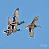Mallard Fly-by (Explored) (dcstep) Tags: dsc2698dxo sonya9 fe100400mmf4556gmoss fe14xteleconverter cherrycreekstatepark colorado usa aurora allrightsreserved copyright2018davidcstephens dxophotolab ducks mallard drake hen three bif flight flying birdinflight explore explored