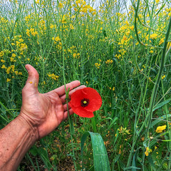 Red in hand (Robyn Hooz) Tags: poppies poppy campo field colza ripeseed hand mano uomo man erba weed fingers dita padova small nature natura