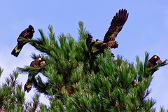 sky high restaurant (taszee63) Tags: tasmania westcoast zeehan pine 🌲 trees yellow tailed black cockatoo blue sky