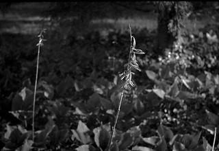 dried floral forms, hostas, ivy, tree trunk, yard, West Asheville, North Carolina, FED 4, Industar 26, Arista.Edu 200, Ilford Ilfosol 3 developer, early April 2018