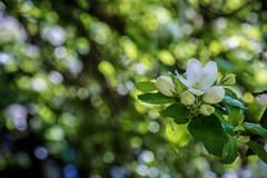 Spring Apple Bokeh (NathalieSt) Tags: europe france fleur flower nature nikon nikond750 nikonpassion nikonphotography printemps spring