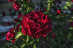 By Any Other Name it's Still - 043018-074342 (Glenn Anderson.) Tags: flowers cluster redrose nature spring pollon petal stigma style pistil anther filament