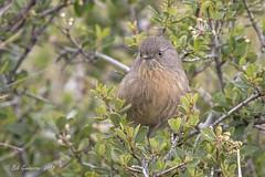 Wrentit - Intense (Bob Gunderson) Tags: birds california chamaeafasciata northbay northerncalifornia pineflatroad somonacounry wrentit