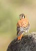 Kestrel (Amy Hudechek Photography) Tags: kestrel raptor bird colorado wildlife nature amyhudechek nikond500 nikon600mmf4