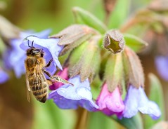 Spring Bee (Karen_Chappell) Tags: bee insect macro flower floral nature canonef100mmf28usmmacro botanicalgarden stjohns spring pastel purple honeybee garden newfoundland nfld canada atlanticcanada avalonpeninsula bokeh