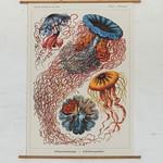 Medusa Jellyfish on Mahogany bars thumbnail