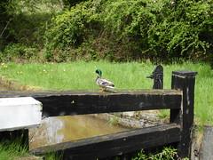 Mallard Lock Keeper, Tamplin's Lock, Monmouthshire-Brecon Canal, Pentre Lane, Cwmbran 3 May 2018 (Cold War Warrior) Tags: anasplatyrhynchos mallard lock canal cwmbran