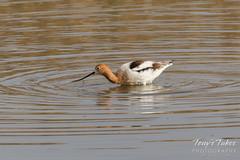 American Avocet wading (TonysTakes) Tags: firestone colorado wildlife bird coloradowildlife americanavocet avocet