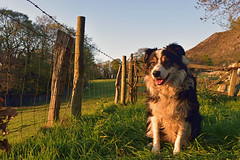Enjoy Every Moment. (Mike & Indy) Tags: laddie dog dogs bordercollie llanfairfechan northwales farmland explore