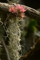 pink tillandsia _ 01 (meg99az) Tags: tillandsia bromeliad epiphyte spanishmoss tillandsiausneoides charlotte northcarolina danielstowebotanicalgarden