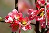 Flowering Quince (pecooper98362) Tags: vestal newyork spring flower quince earlyblossoms floweringquince chaenomelesspeciosa redorange