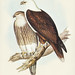 Haliaster leucosternus (White-breasted Sea Eagle) Illustrated by Elizabeth Gould (1804–1841) for John Gould's (1804-1881) Birds of Australia (1972 Edition, 8 volumes). One of the most celebrated publications on Ornithology worldwide, Birds of Australia in
