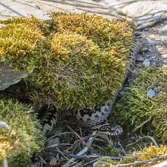 Adder - Viper berus (Matchman Devon) Tags: adder viper berus south hams devon