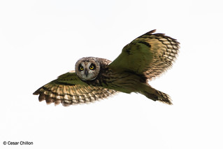Asio flammeus bogotensis - Short-eared Owl - Búho Campestre
