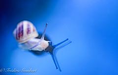 looking for my path .... (frederic.gombert) Tags: snail color blue light sun sunlight macro nikon closeup spring summer