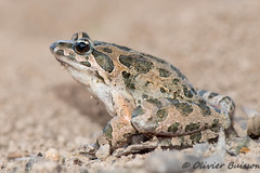 Discoglossus pictus Catalogne 6629 (Swing Olive) Tags: discoglosse discoglossus pictus peint amphibiens batraciens grenouille crapaud