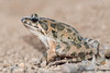 Discoglossus pictus Catalogne 6629 (Swing Olive) Tags: discoglosse discoglossus pictus peint amphibiens batraciens grenouille crapaud