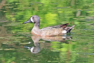 Blue-winged Teal 18-0512-7482