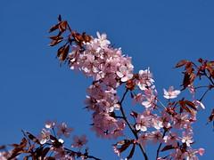 Prunus sargentii (Rosaceae) (Helsinki, Pasila, 20180512) (RainoL) Tags: 2018 201805 20180512 böle d5200 finland flower flowers geo:lat=6019726492 geo:lon=2492405177 geotagged helsingfors helsinki may nyland pasila plant plants prunus prunussargentii rosaceae rusokirsikka spring tree trees uusimaa fin