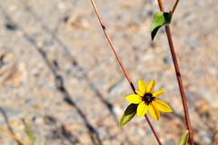 Flor silvestre (eunice.martinezavila) Tags: flower yellow desert sparkly