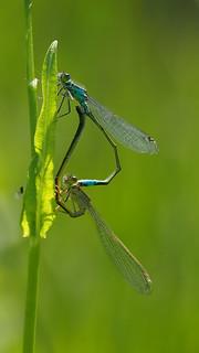 Blue-tailed Damselflies - Ischnura elegans