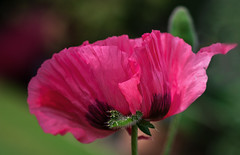 Pink (blancobello) Tags: poppy mohn pink rosamohn blüte rosa blossom 85mm glory canon 80d