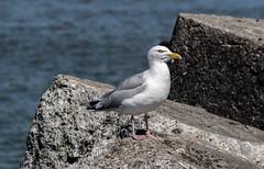 Seagull (Marco van Beek) Tags: gull nature stone animal holland europe beautiful world nikon d5000 afs dx nikkor 18200mm f3556g ed vr ii