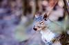 Drinking in the spring (Sean X. Liu) Tags: nature spring chipmunk highpark toronto ontario canada