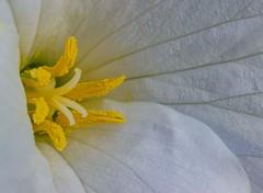 Trillium (T P Mann Photography) Tags: rural michigan forest close detail focus flower trillium