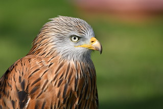Portrait of a Red Kite at The International Centre for Birds of Prey