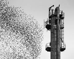 La virata (nicolamarongiu) Tags: biancoenero blackandwihte monocrome monocromo uccelli volare story storni metallo sarroch sardegna italia italy
