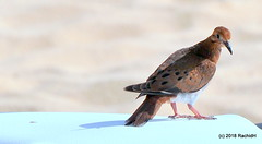 DSC_0558 (RachidH) Tags: birds oiseaux colombe paloma dove picazuro pigeon zenaidadove zenaidaaurita tourterelleàqueuecarrée westindies antilles meadsbay anguilla rachidh nature nationalbirdofanguilla