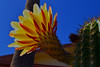 Kilauea (oybay©) Tags: yellowcactusflower suncitywest arizona unique unusual nightbloom night cactusflower cactus flower flora fiori blumen argentinegiant macro upclose color colors white whiteflower light greatshot coolshot cool indoor black background bright