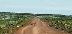 2891 - OMO RIVER ETIOPIA-2013-11 Novembre-Ritorno dal Sanetti Plateau-Lupo abissino (tomorme) Tags: animali lupo etiopia