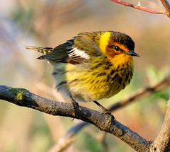 Cap May Warbler (Setophaga tigrina) (dzittin) Tags: setophaga tigrina cape may warbler bird yellow reddish