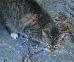 Key West (Florida) Trip 2017 0322Ri 5x6 (edgarandron - Busy!) Tags: florida keys floridakeys keywest cat cats tabby tabbies feral