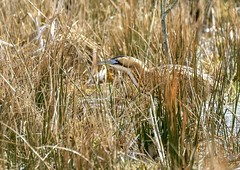 Master of camouflage (Jaedde & Sis) Tags: rørdrum great eurasian bittern botaurusstellaris lillevildmose reed camouflage heron