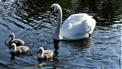 """ Take Me To The River "" (hope2029) Tags: signet chicks mute swan family reflections sunshine blue leeds west yorkshire"