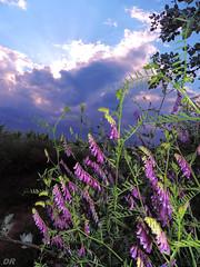vesce cracca fleur (danie _m_) Tags: naturepic wildflowers lovenature sunset countryside colorful flowers sky nature fleurs printemps campagne ciel flowerspower