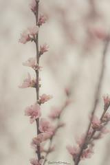 Si duele no es bueno. Te lo aseguro (Momentos que no se buscan...) Tags: primavera spring flores flowers color pink rosa cálido suave árbol nature naturaleza canon canon450d canonphotography 50mm 50mmlens
