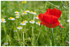 Gentil coquelicot (Pascale_seg) Tags: nature earth country field champ flower moselle lorraine grandest france nikon coquelicot marguerite fleurdeschamps champêtre bucolique campagne countryscape printemps spring poppy poppies red rouge vert green