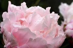 Pivoine après la pluie (GinOu Tchob.) Tags: nikonpassion fleurs nature jardin gouttes 40mm