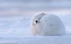 (Peter MacCallum-Stewart) Tags: svalbard longyearbyenarcticfox cold arctic snow